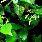 jasmine-foliage