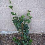 jasmine-planting