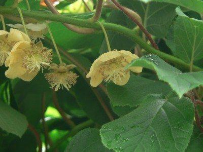 kiwi-blossoms