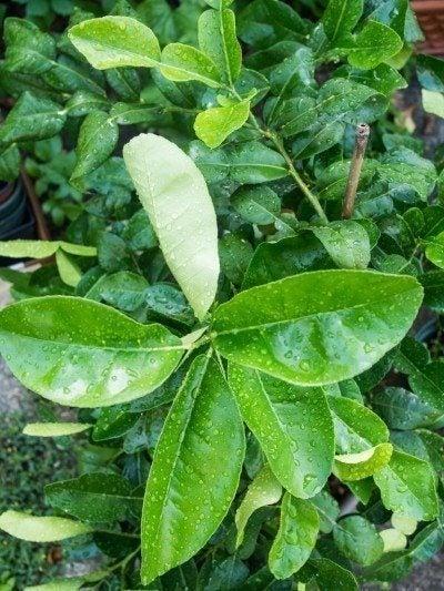 lime-tree-watering