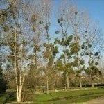 mistletoe-control