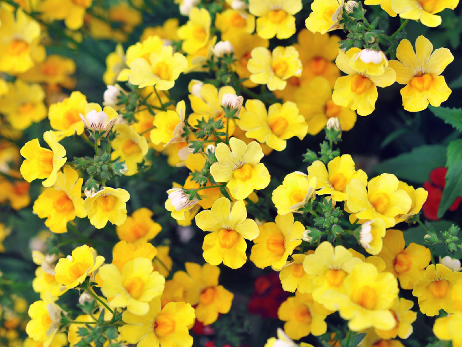 What Is Nemesia: Learn About Nemesia Growing Conditions