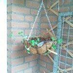 peas-hangning-basket