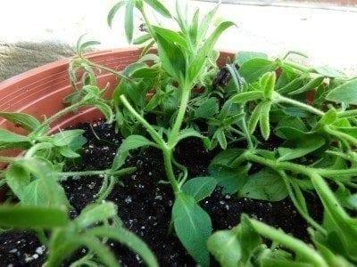petunia cuttings