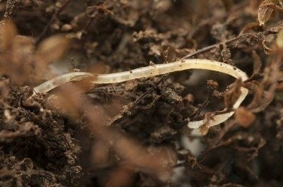 Where Do Pot Worms Come From Compost Garden Soil Has