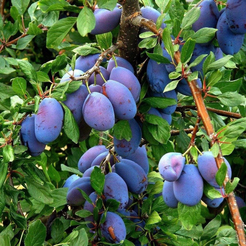 Italian Prune Plum Trees How To Grow A Tree
