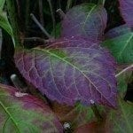 purple-hydrangea-leaves