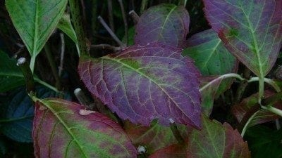 purple-hydrangea-leaves
