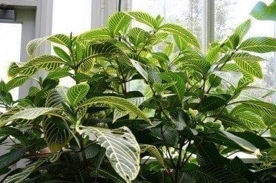 Sanchezia plant care – learn about sanchezia growing information