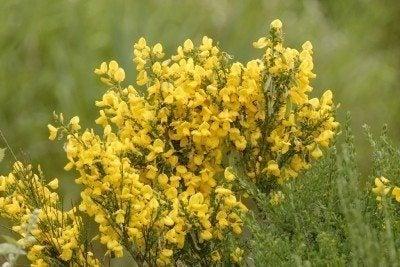 broom shrub plants where do broom shrubs grow rh gardeningknowhow com