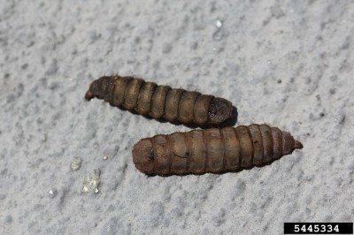 soldier fly larva