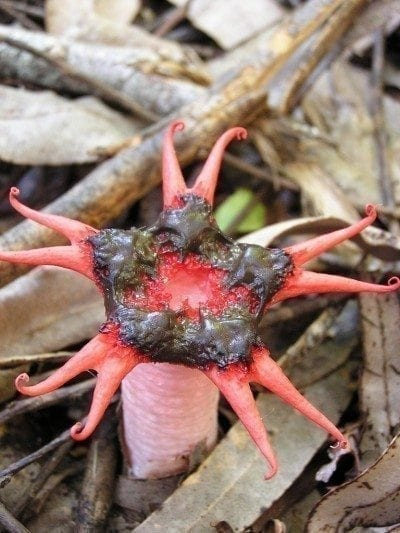 stinkhorn-mushroom