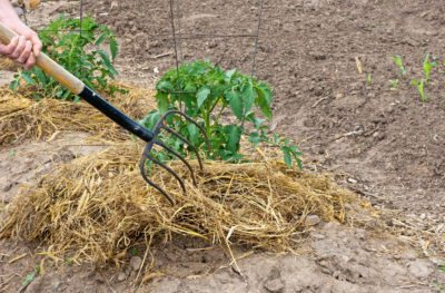 Straw Mulch In Gardens Tips For Using As Vegetables