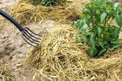 hay fork mulching tomato plants