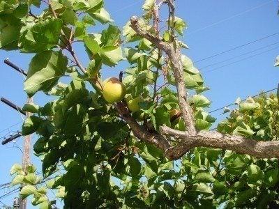 unripe-apricot
