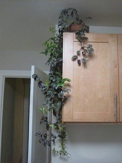 Indoor Climbing Plants How To Grow Climbing Houseplants