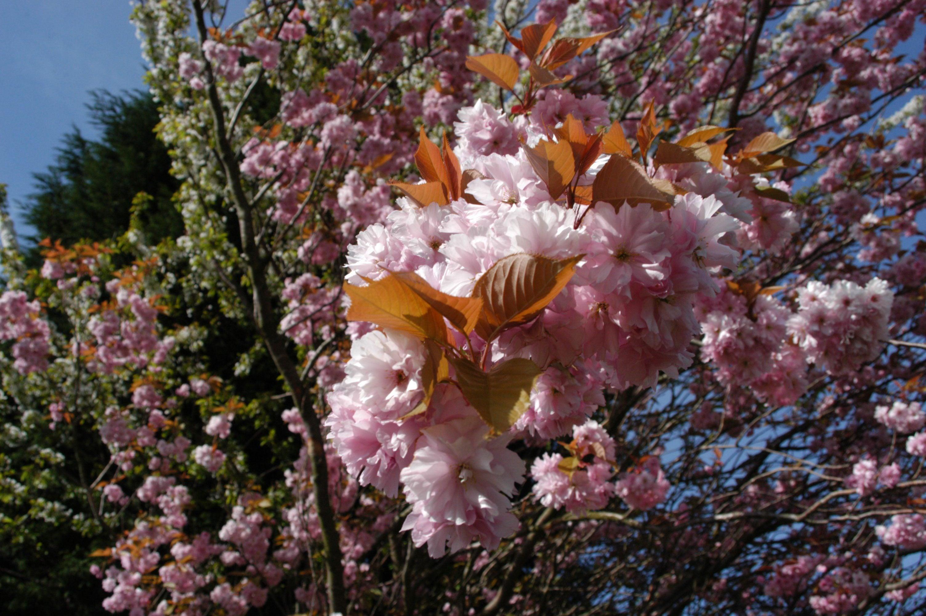 Wild Cherry Tree Information Transplanting Black Cherry Trees In