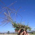 windmill-grass