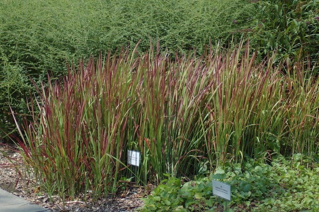 Japanese Blood Grass Plant
