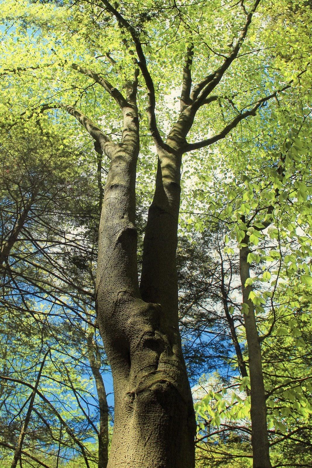 Trees Of Santa Cruz County Melaleuca Quinquenervia: Types Of Beech Trees For The Landscape