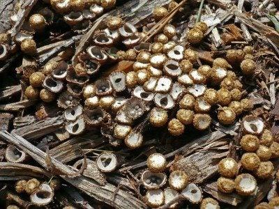 birds-nest-fungi