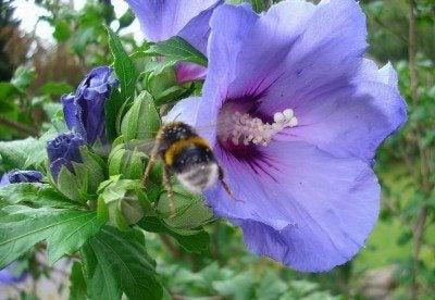 blue-hibiscus