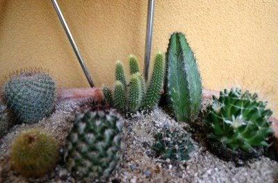 cactus-mix