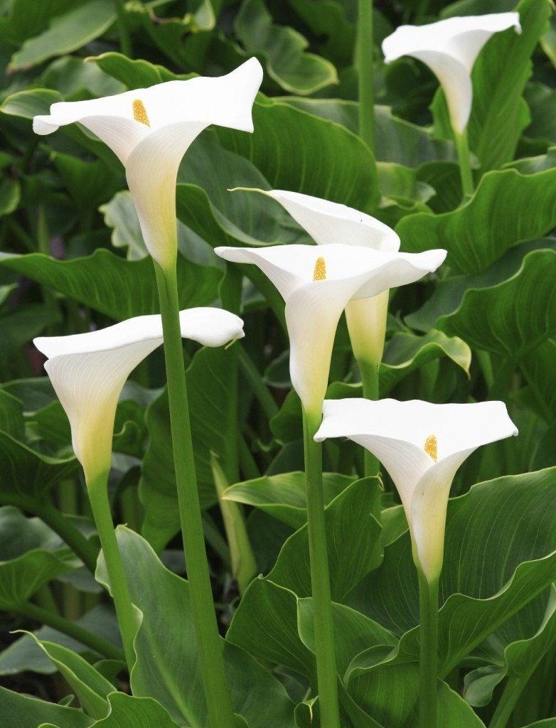 How To Deadhead Calla Lily Information On Deadheading Calla Lilies