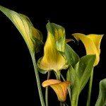 calla yellow leaves