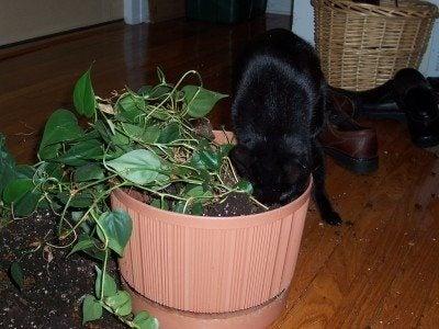 cat-in-houseplant