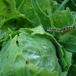 catepillar-on-cabbage