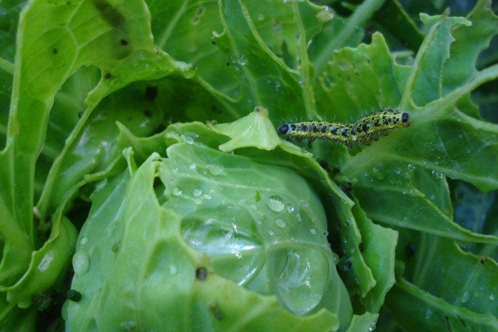 vegetable garden pests keeping pests out of vegetable gardens
