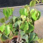 chestnut-vine