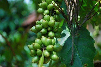 coffee-seeds