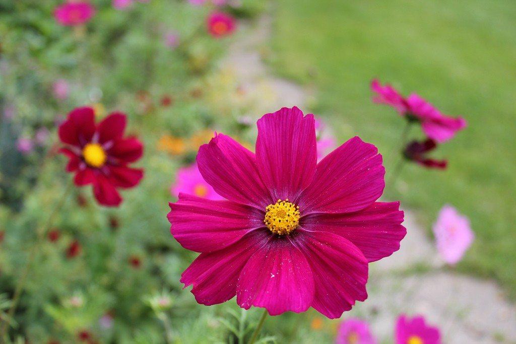 Information On Fertilizing Cosmos Tips For Feeding