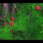 cypress-vine