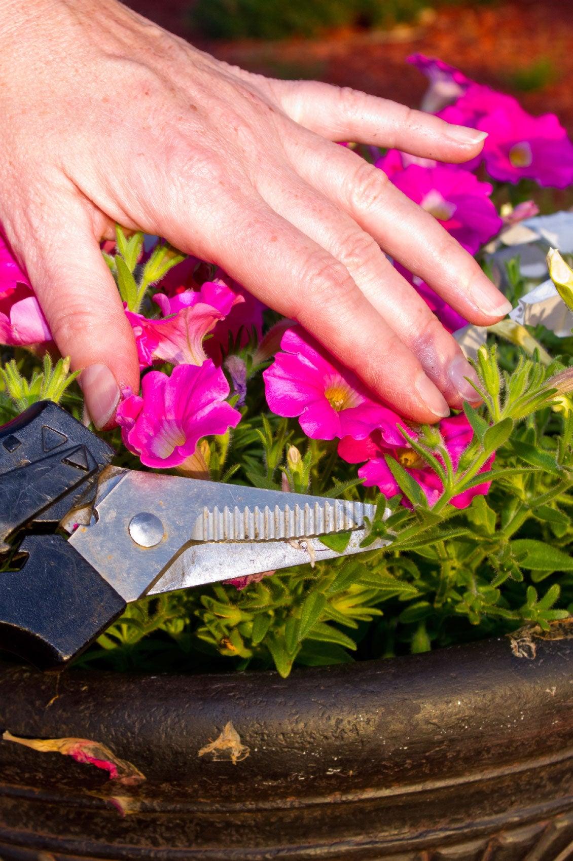 how to deadhead a petunia