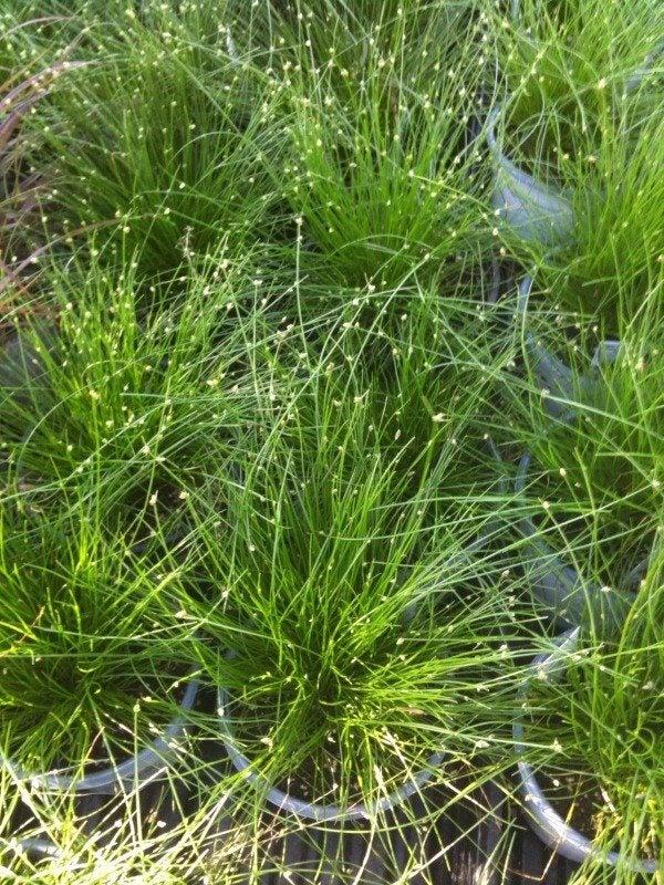Ornamental Grasses How To Grow : Fiber optic plant care how to grow ornamental grass
