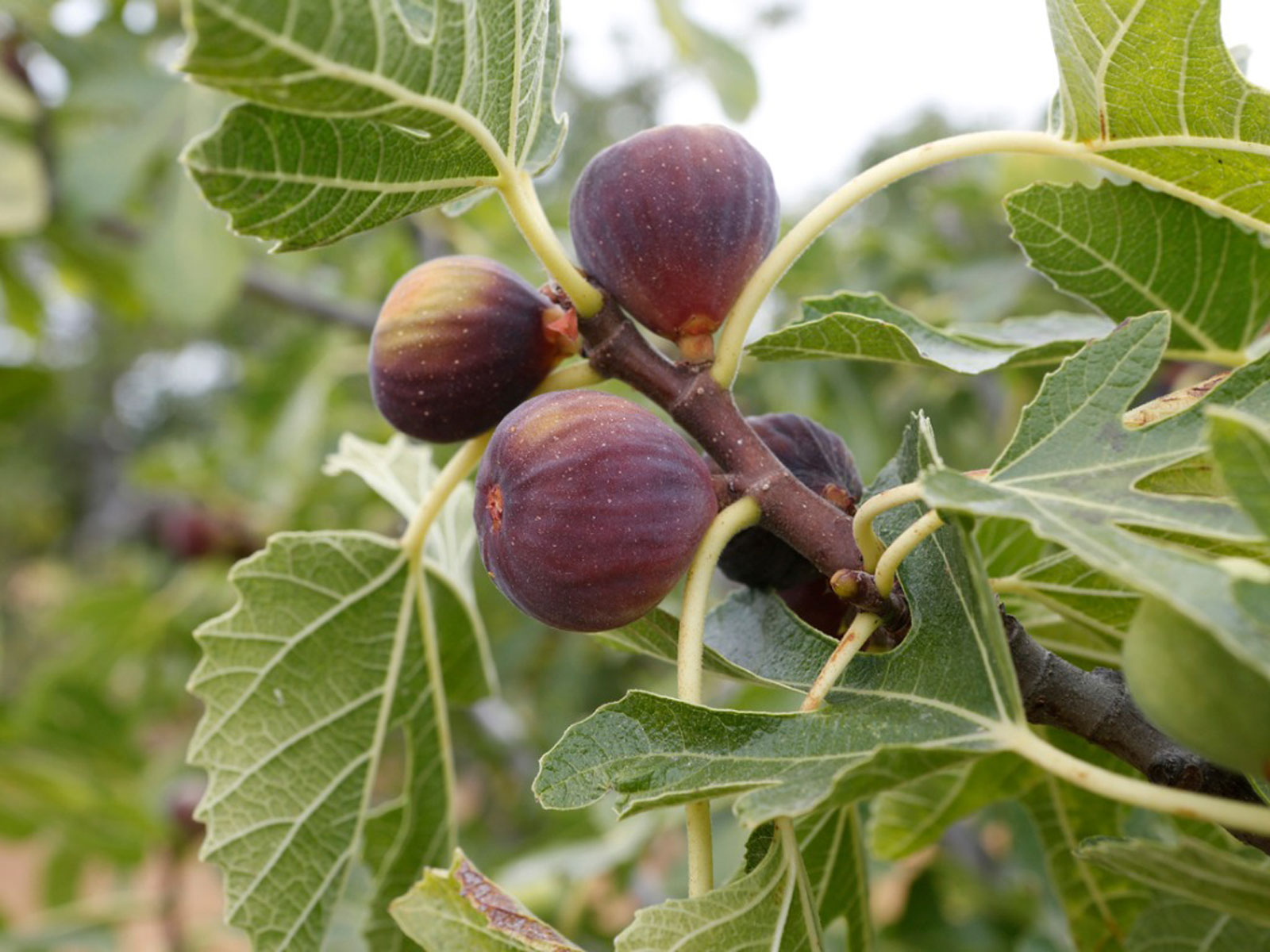 Fig Tree Fertilizer When And How To