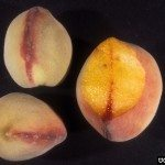 fruit affected by peach yellows