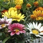 Close up of mixed color gazania