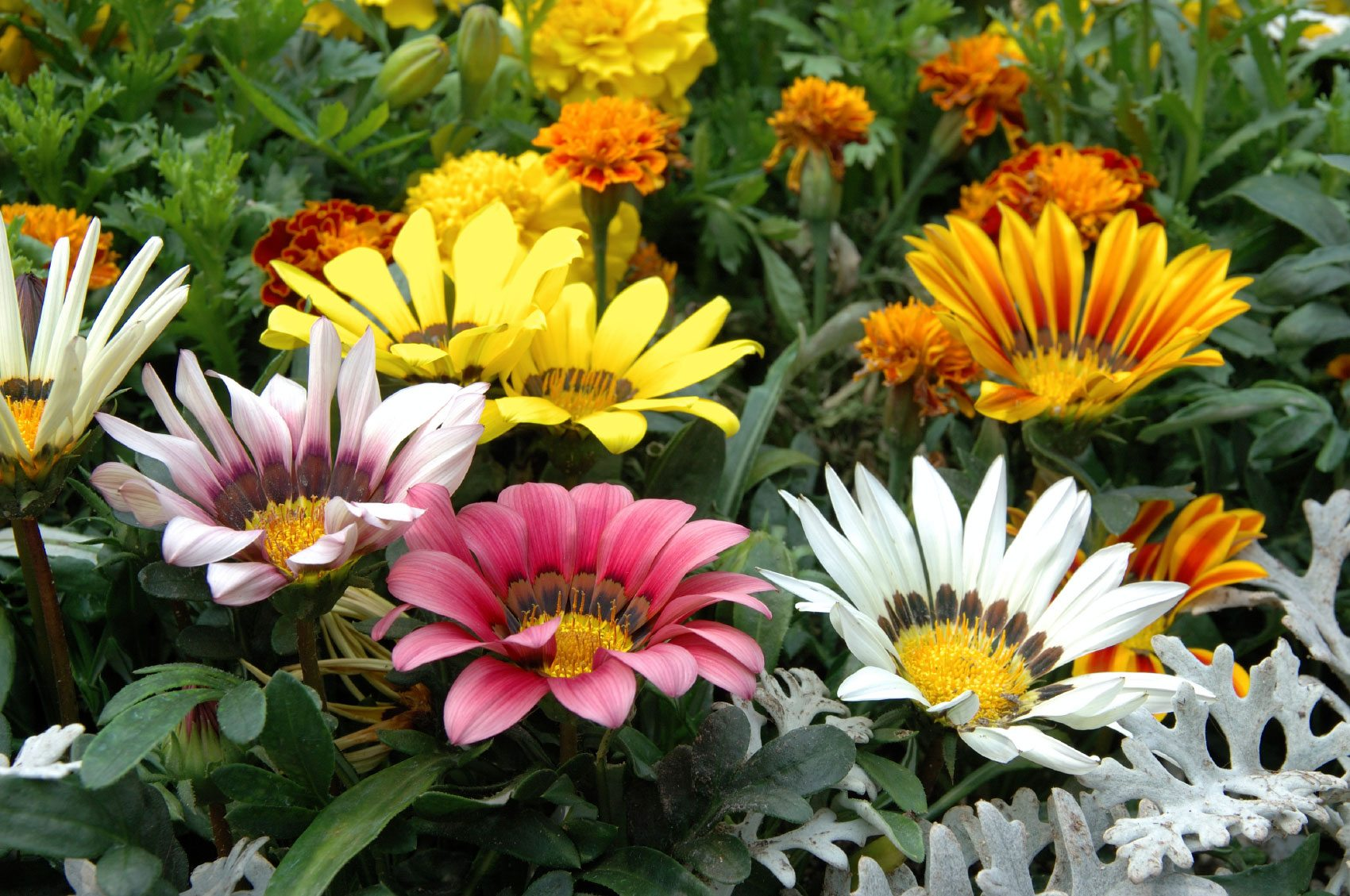 Tips for growing gazanias information about gazania plant for Easy to care for outdoor flowering plants