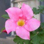 mandevilla-plant