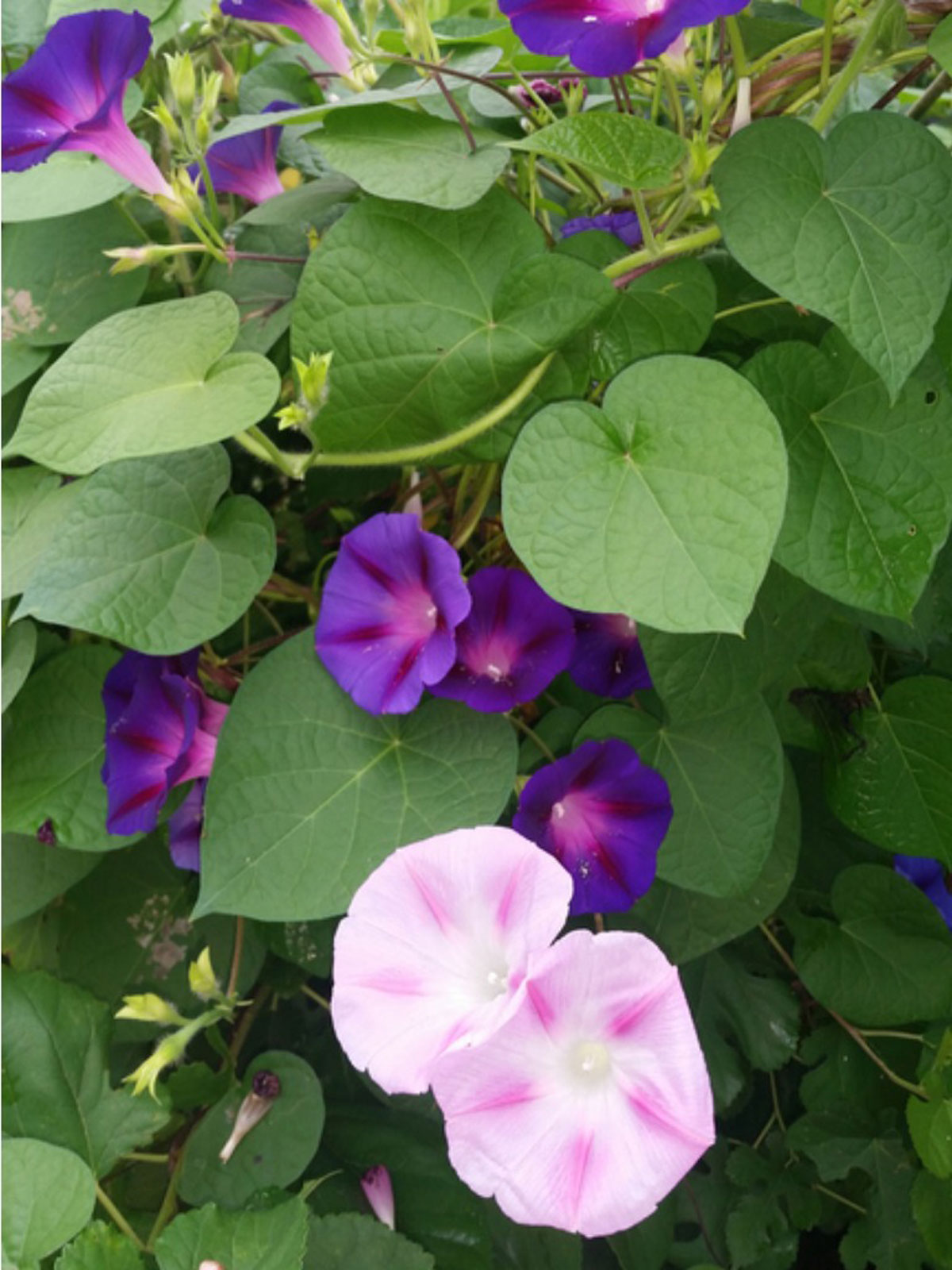 Pruning Morning Glory Vines How And When To Cut Morning Glories