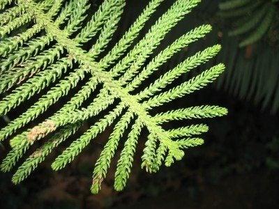 Norfolk Island Pine Trouble Shooting Branch Drop In