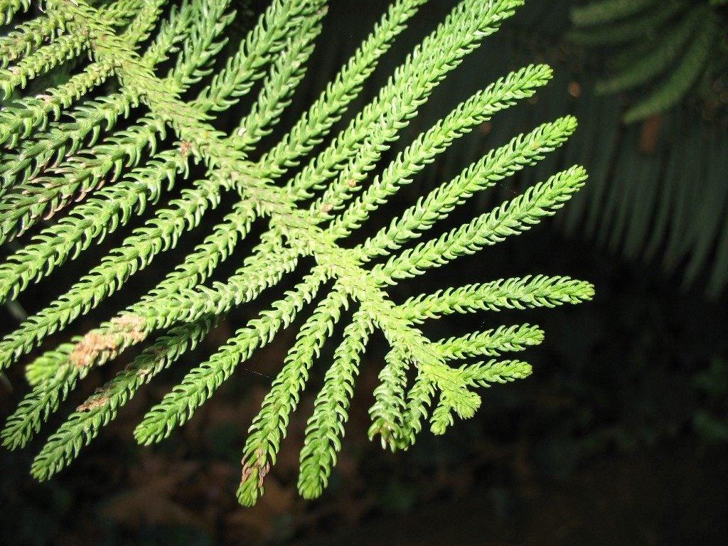 Norfolk island pine trouble shooting branch drop in norfolk pines