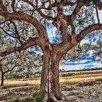 oak-wilt
