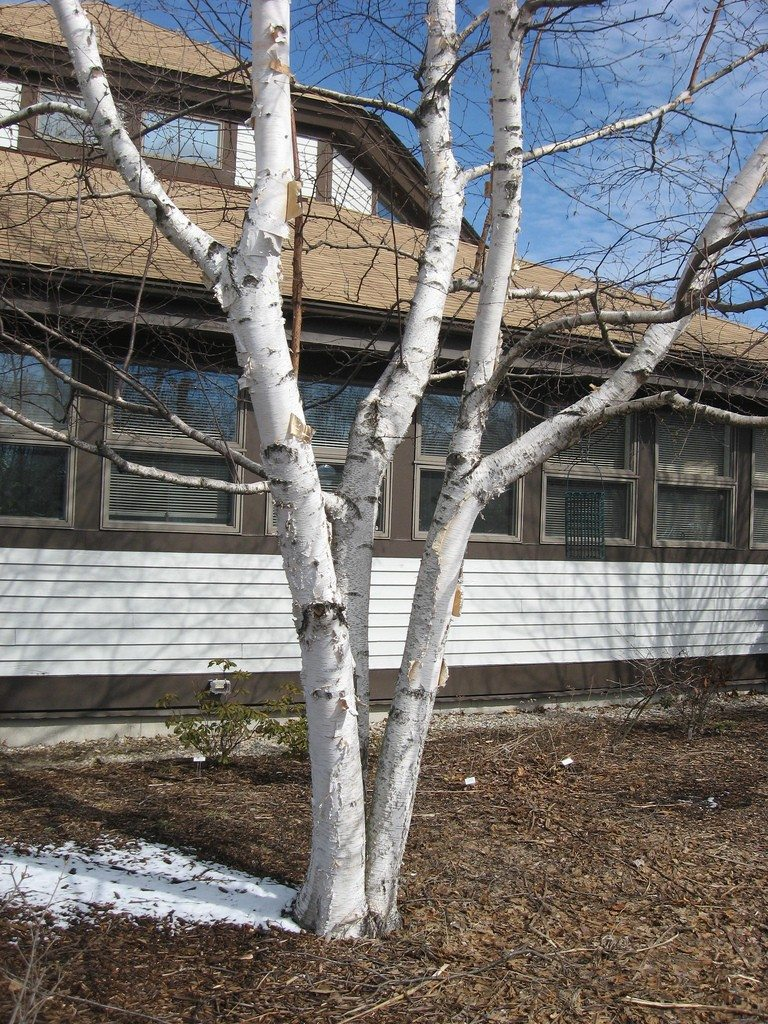 paper birch trees The paper birch, known as a white birch, silver birch, or canoe birch, rarely lives more than 140 years it is a medium-sized deciduous tree that thrives in well drained, sandy loams on cool.