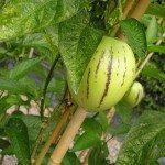Pepino Plant