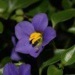 persian-violet